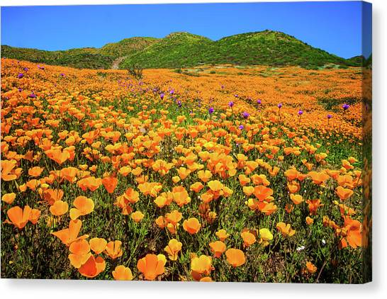 Walker Canyon Wildflowers Canvas Print