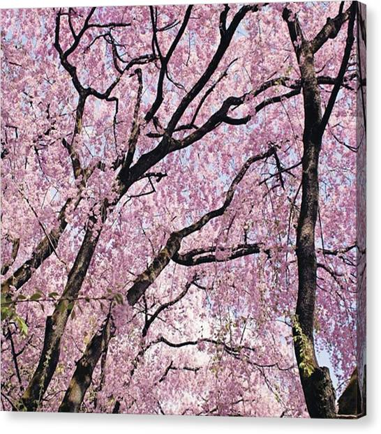 Japanese Canvas Print - Walking Beneath Giant Cherry Blossom by Margaret Goodwin