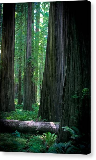 Walking In The Redwoods Canvas Print by Jonathan Hansen
