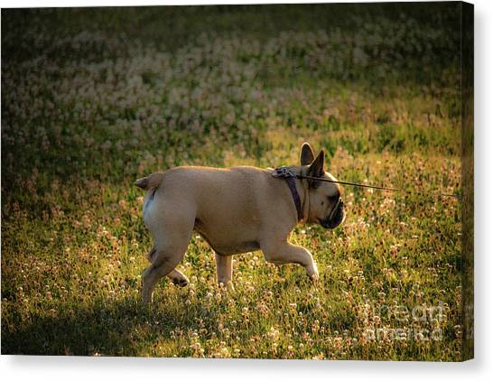 French Bull Dogs Canvas Print - Walking Roxy Dog by Carl Therriault