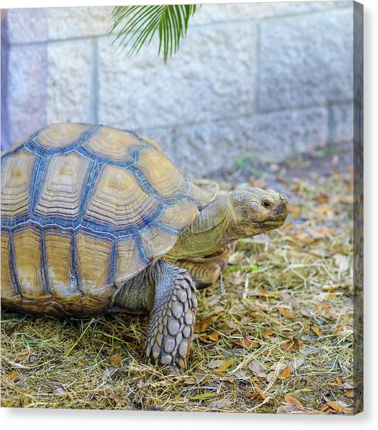 Canvas Print featuring the photograph Walking Turtle by Raphael Lopez