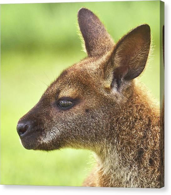 Kangaroo Canvas Print - Wallaby by Jim Hughes