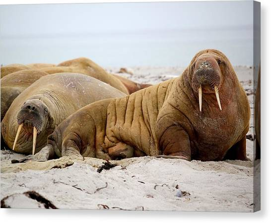 Walrus Canvas Print - Walrus Family by Happy Home Artistry
