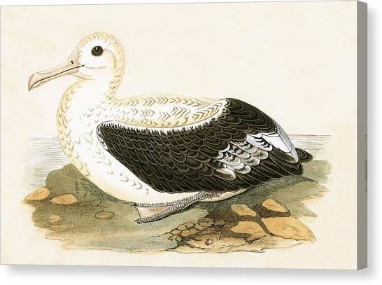 Albatrosses Canvas Print - Wandering Albatross by English School