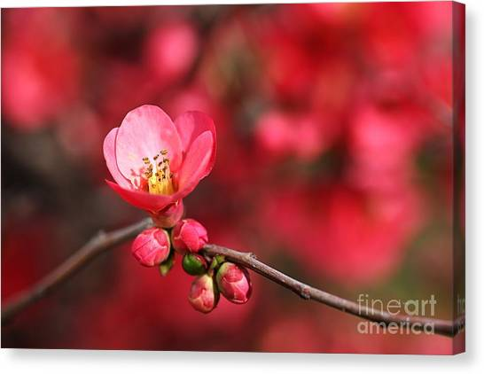 Warmth Of Flowering Quince Canvas Print