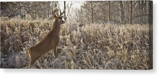 Wary Buck Canvas Print