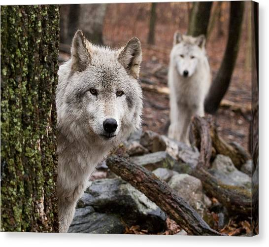 Wary Wolves Canvas Print