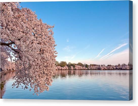 Washington Dc Cherry Blossoms Canvas Print