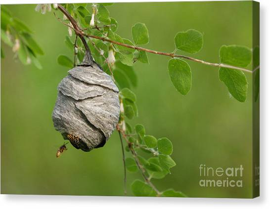 Wasp Canvas Print by Dennis Hammer