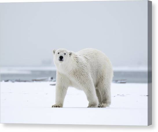 Watchful In The Arctic Canvas Print