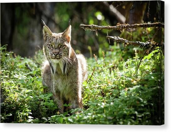 Watchful Mama Lynx Canvas Print