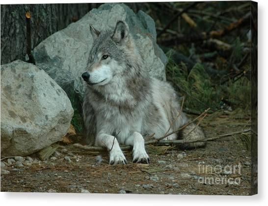 Watchful Wolf Canvas Print