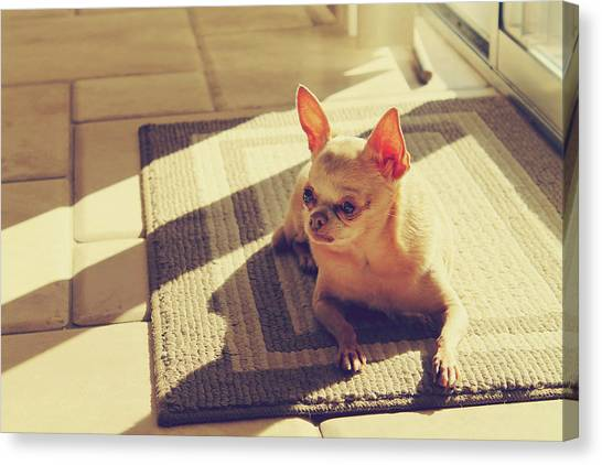 Chihuahuas Canvas Print - Watching And Waiting by Laurie Search