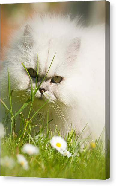 Watching Daisies Canvas Print