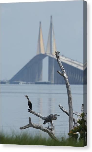 Water Birds On Tampa Bay Canvas Print by Carl Purcell
