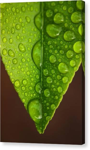 Water Droplets On Lemon Leaf Canvas Print