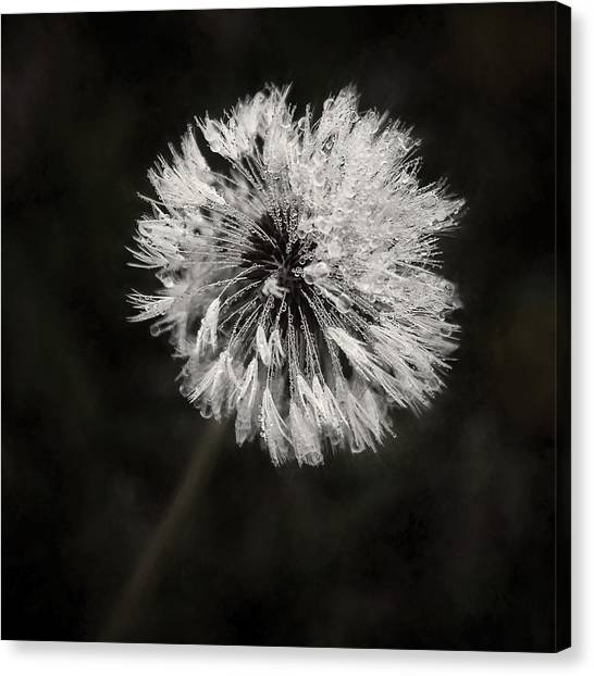 Black and white flower canvas prints fine art america black and white flower canvas print water drops on dandelion flower by scott norris mightylinksfo