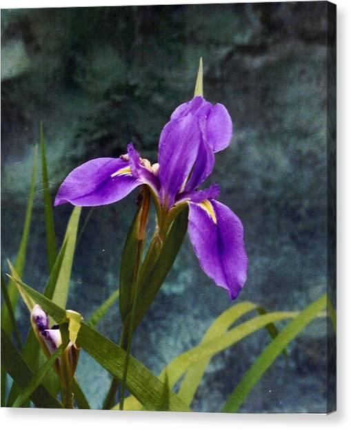 Water Iris Canvas Print by Rebecca Shupp
