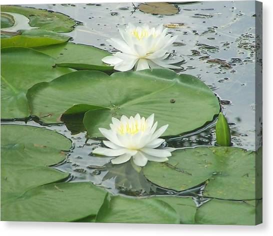 Water Lilies At Conesus Lake Canvas Print