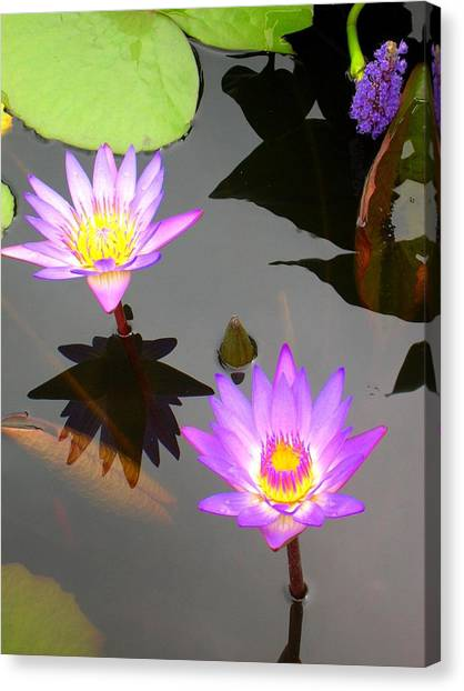 Water Lilies Canvas Print by Caroline  Urbania Naeem