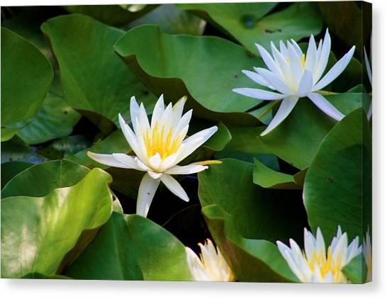 Water Lilies Canvas Print by Dana Blalock