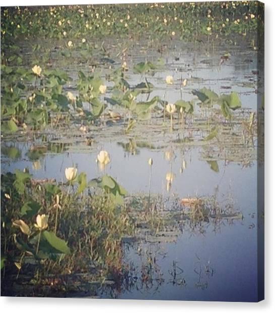 Wetlands Canvas Print - Water Lilies by Heather Classen