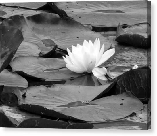 Water Lilly Canvas Print by Noelle  Kimberley