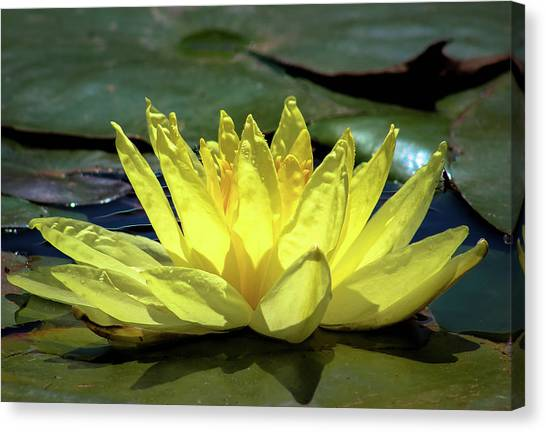 Canvas Print featuring the photograph Water Lily by Alison Frank