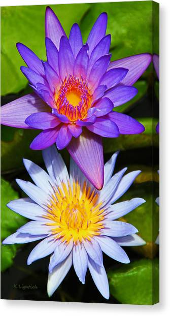 Water Lily Blossoms Canvas Print