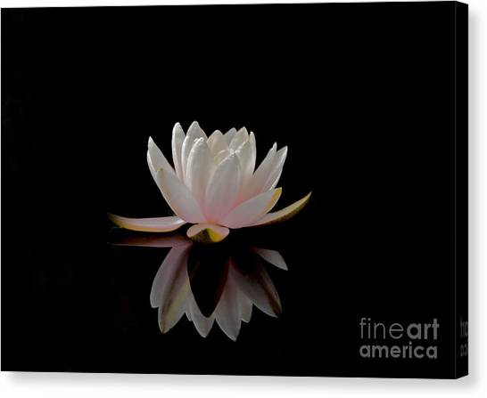 Water Lily Canvas Print by Elizabeth McPhee