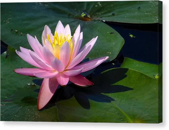 Water Lily In Mountain Lake Canvas Print