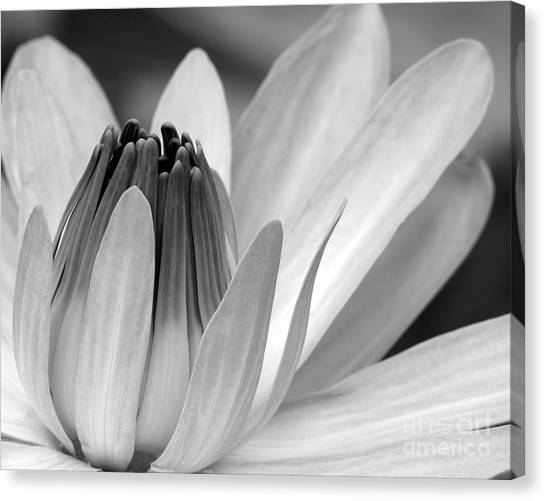 Water Lily Opening Canvas Print