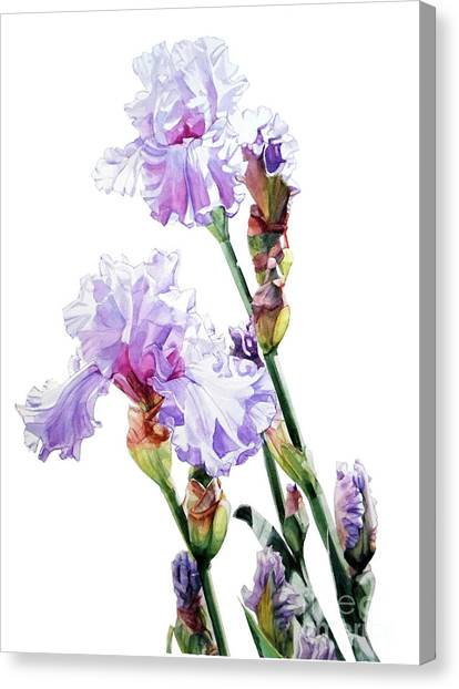 Watercolor Of A Tall Bearded Iris I Call Lilac Iris Wendi Canvas Print