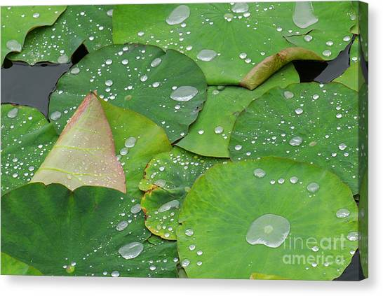 Lily Pond Canvas Print - Waterdrops On Lotus Leaves by Silke Magino