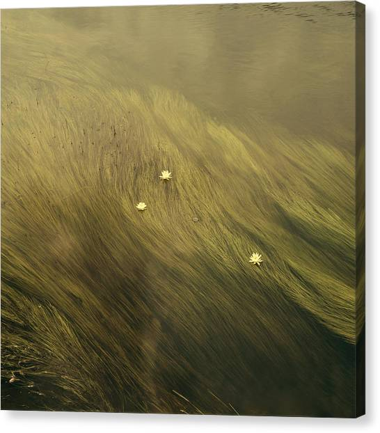 Waterlilies Canvas Print