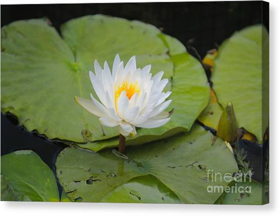 Waterlilies Canvas Print by Miguel Celis