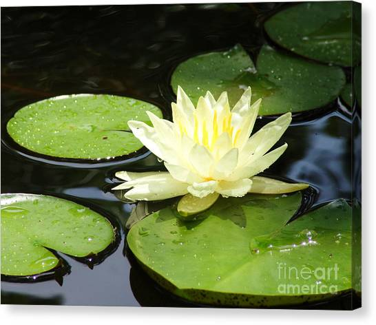 Waterlily In Yellow Canvas Print by Tonya Laker