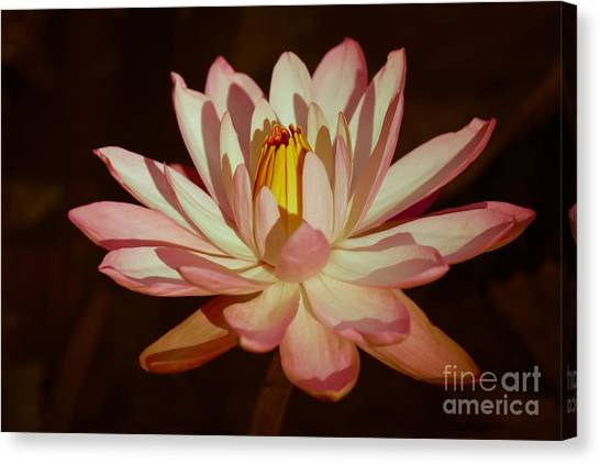 St. Lucie County Canvas Print - Waterlily Warmth by Liesl Walsh
