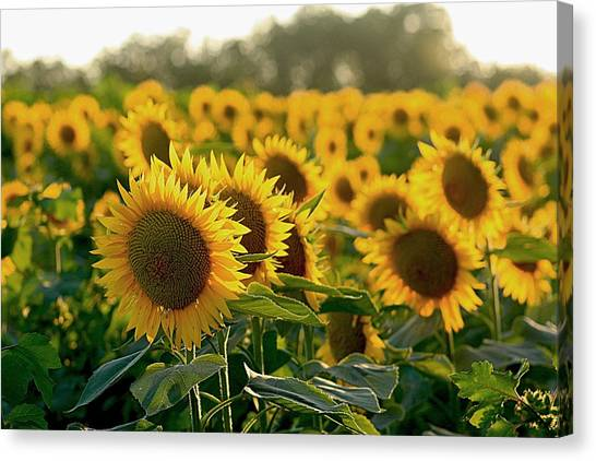 Waving Sunflowers In A Field Canvas Print