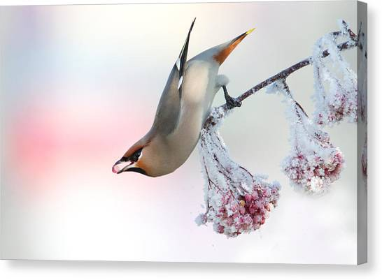 Waxwing Feeding  Canvas Print