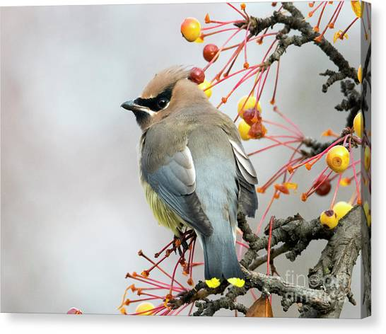 Cedar Waxwing Canvas Print - Waxwing Lunch by Mike Dawson