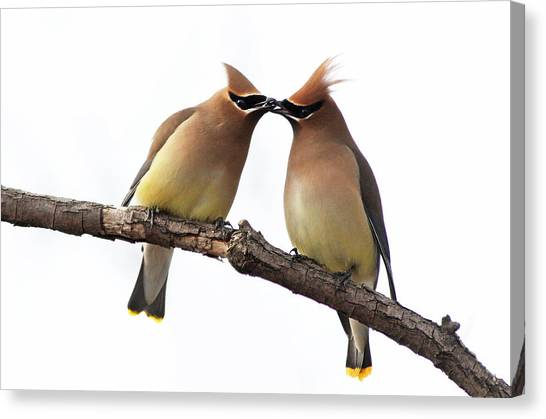 Cedar Waxwing Canvas Print - Waxwings In Love by Mircea Costina Photography