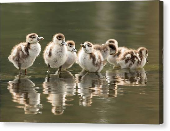 Geese Canvas Print - We Are Family - Seven Egytean Goslings In A Row by Roeselien Raimond