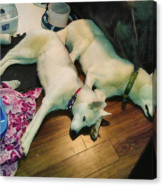 Huskies Canvas Print - We Don't Want To Sleep by Lethbridge Husky Love