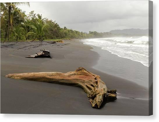 Weathered Tree On Costa Rica Beach Canvas Print