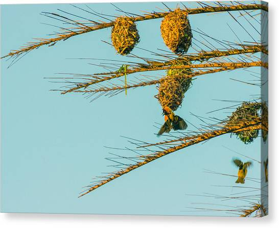 Weaver Birds Canvas Print