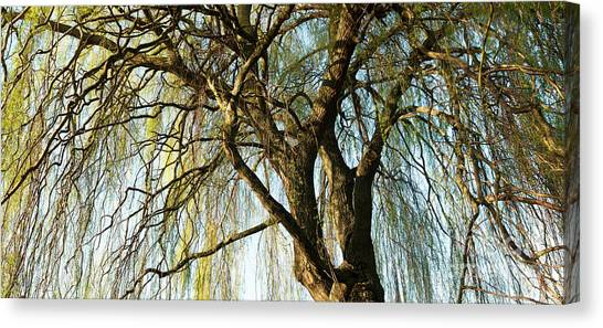 Weeping Willows Canvas Print - Weeping Willow by Tim Gainey