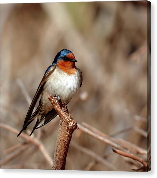 Welcome Swallow Canvas Print