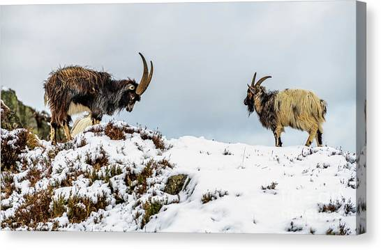 Goats Canvas Print - Welsh Mountain Goats by Adrian Evans