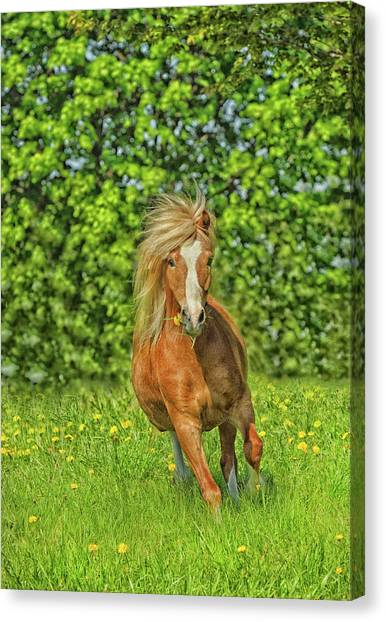 Canvas Print - Welsh Pony by Shawn Hamilton